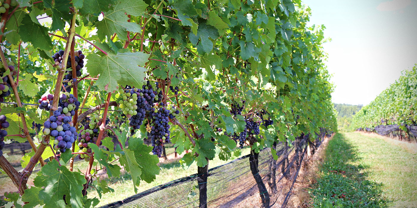 more-grapes-on-the-vine